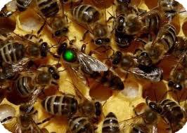 фото матка пчелиная