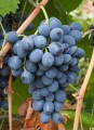 Продам виноград сорта Молдова на сок и вино