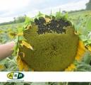 семена подсолнечника Лейла. устойчивый к 6 (А-F) расам заразихи