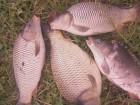 продам річкову товарну рибу