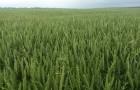 Сорт озимої м'якої пшениці Скаген, 1 репродукція