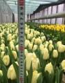 ѕродам тюльпаны