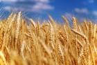 Купую Пшеницю 2,3, 4, 5, 6 кл