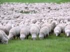 Продам племенных овцематок на развод. Асканийский меринос