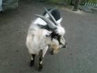 Продам козла, срочно