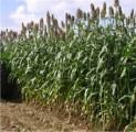Суданка, костер-семена очищенные урожая 2016г от 10 грн