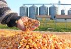 Закупаю кукурузу с места по Украине