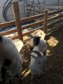 Продажа 6-ти месячных козлят