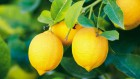 Оптовая продажа цитрусовых: лимон