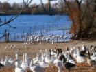ПП «Раздольное»  реализует поголовье племенных самцов гусей