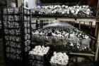 Продажа грибов шампиньонов со своей грибной фермы.