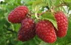 Продам ягоду и саженцы элитных сортов малины