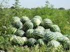 Продам семена Арбуза Астраханского, дешево, Одесская обл.
