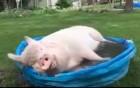 Продам свиней 110-130 кг беконной породы