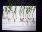 Микроудобрение из сапропеля HUMIN PLUS для обработки семян
