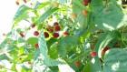 Продам сажанці високо-врожайних сортів малини Полка і Полана