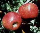 продам яблука спартан, айдаред, джонаголд, симиренка, ріхард - Превью изображения 7
