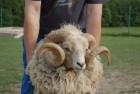 Валлійські вівці