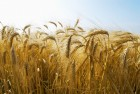 Посевной материал  Канадская пшеница Леннокс (класс - элита)