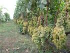 Продажа саженцев винограда. Более 50ти сортов