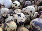 Продаем перепелиные яйца