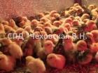 Перепела (суточные 1 – 5 дней) породы Белый Техасский