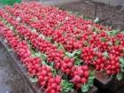 Семена Редиса весовые и пакетированные с первых рук