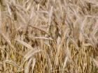 уплю зерно третикале