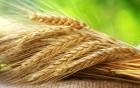 Куплю жито, тритікале
