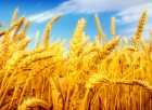 Купим дорого пшеницу 2,3, 5,6 кл
