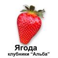 Саженцы клубники Альба в Украине