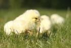 Цыплята бройлернные КОББ-500 Венгрия от производителя
