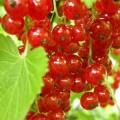 Купить саженцы красной смородины Джонкер Ван Тетс, Рондом и др сорта