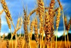 Пшеница 2 кл.