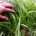 Семена райграса многолетнего, сорт Андриана