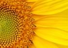 Семена подсолнечника Ясон