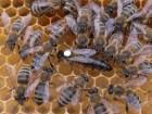 Привезу пчелопакеті
