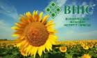 Соняшник «Український F1» (насіння від виробника)