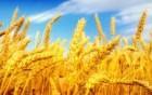 Пшеница 3 кл.