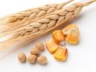 Закупаем Кукурузу по всей Украине