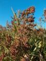Суданская трава для зеленой массы