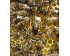 ѕродам пчеломатки карпатской породы