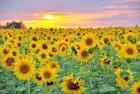 Насіння соняшника стійкого до Грандстару, вітчізняні сорти та гибриди