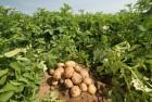 """Продам насіння картоплі,сорт (Рів""""єра), 2 репродукція."""