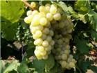 »зысканное белое сухое Ёко-вино  ћускат-ќттонель