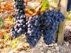 »зысканное красное сухое Ёко-вино  ћерло