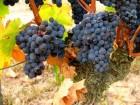 »зысканное красное сухое Ёко-вино  аберне 'ран