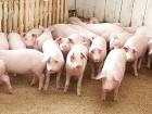 Продаються свині
