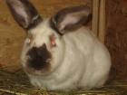 Продам кроликов Новозеландской и Калифорнийской породы
