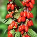 Саженцы годжи Динамит и Золотая ягода